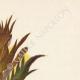 DETALLES 04 | Flores de Palestina - Acanthus Dioscoridis