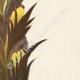 DETALLES 05 | Flores de Palestina - Acanthus Dioscoridis