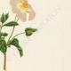DETAILS 05   Flowers of Palestine - Sage Leaved Rock Rose