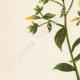 DETALLES 02 | Flores de Palestina - Linum Flavum