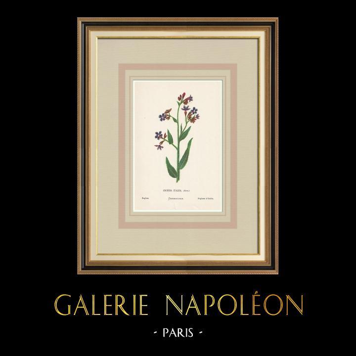 Gravures Anciennes & Dessins | Fleurs de Palestine - Buglosse d'Italie | Chromolithographie | 1876