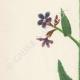 DÉTAILS 02 | Fleurs de Palestine - Buglosse d'Italie