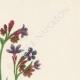 DÉTAILS 03 | Fleurs de Palestine - Buglosse d'Italie