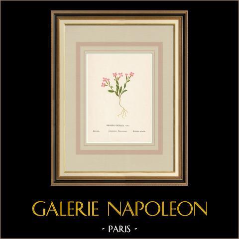 Blommor av Palestina - Malcolmia Crenulata | Original kromolitografi efter Hanna Zeller. 1876