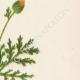 DÉTAILS 04 | Fleurs de Palestine - Renoncule d'Asie