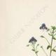 DETAILS 01 | Flowers of Palestine - Syrian Speedwell