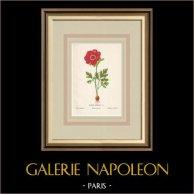 Blommor av Palestina - Anemone Coronaria