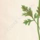 DETAILS 02 | Flowers of Palestine - Scarlet Anemone