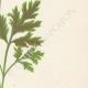 DETAILS 04 | Flowers of Palestine - Scarlet Anemone