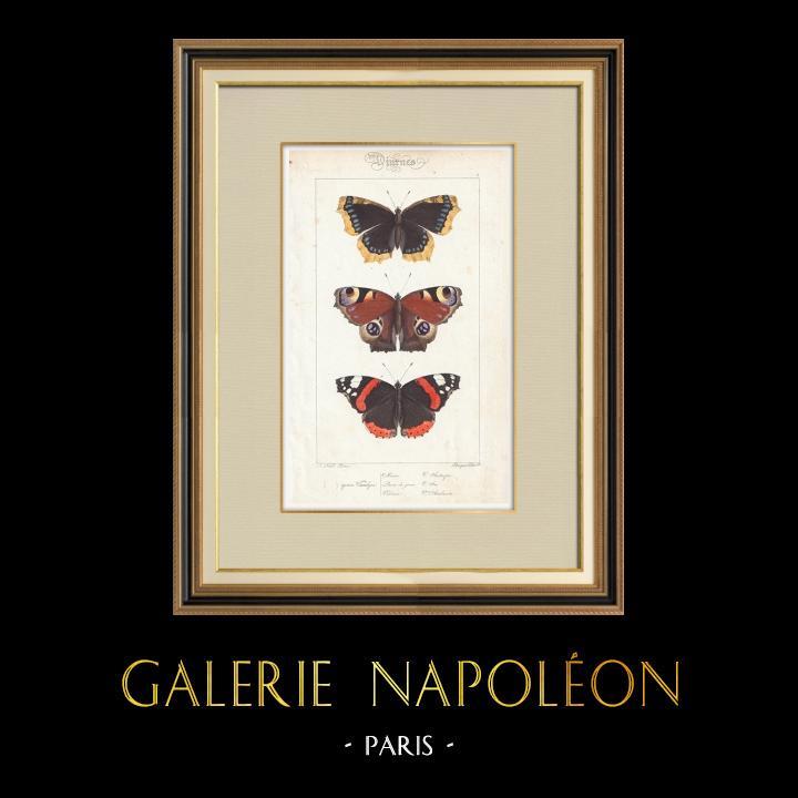 Antique Prints & Drawings   Butterflies of Europe - Morio - Paon de Jour - Vulcain   Intaglio print   1834