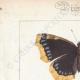 DETAILS 01   Butterflies of Europe - Morio - Paon de Jour - Vulcain