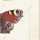 DETAILS 05   Butterflies of Europe - Morio - Paon de Jour - Vulcain