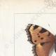 DETTAGLI 01   Farfalle dall'Europa - Grande Tortue - Petite Tortue - Gamma