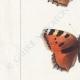 DETTAGLI 02   Farfalle dall'Europa - Grande Tortue - Petite Tortue - Gamma