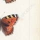 DETTAGLI 05   Farfalle dall'Europa - Grande Tortue - Petite Tortue - Gamma