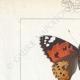 DETTAGLI 01   Farfalle dall'Europa - Belle Dame - Triangle - V. Blanc