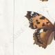 DETTAGLI 02 | Farfalle dall'Europa - Belle Dame - Triangle - V. Blanc