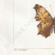 DETTAGLI 03 | Farfalle dall'Europa - Belle Dame - Triangle - V. Blanc