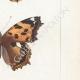 DETTAGLI 05   Farfalle dall'Europa - Belle Dame - Triangle - V. Blanc