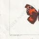 DETTAGLI 03 | Farfalle dall'Europa - Carte Géographique Fauve - Carte Géographique Brune - Libythée échancré
