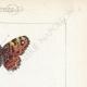 DETTAGLI 04 | Farfalle dall'Europa - Carte Géographique Fauve - Carte Géographique Brune - Libythée échancré