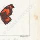 DETTAGLI 06 | Farfalle dall'Europa - Carte Géographique Fauve - Carte Géographique Brune - Libythée échancré