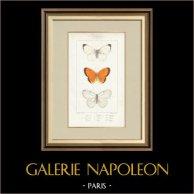 Butterflies of Europe - Piéride de Chou  - Coliade Souci - Piéride Gaze