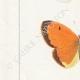DETTAGLI 02 | Farfalle dall'Europa - Piéride de Chou  - Coliade Souci - Piéride Gaze