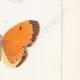 DETTAGLI 05 | Farfalle dall'Europa - Piéride de Chou  - Coliade Souci - Piéride Gaze