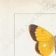 DETTAGLI 01   Farfalle dall'Europa - Coliade