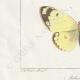 DETTAGLI 03   Farfalle dall'Europa - Coliade