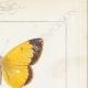 DETTAGLI 04   Farfalle dall'Europa - Coliade