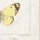 DETTAGLI 06   Farfalle dall'Europa - Coliade
