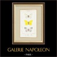 Papillons d'Europe - Piéride Callidice - Coliade Citron - Piéride Daplidice   Gravure originale en taille-douce sur acier d'après A. Noël. Pauquet direxit. Aquarellée à la main. 1834
