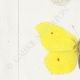 DETALLES 02 | Mariposas Europeas - Piéride Callidice - Coliade Citron - Piéride Daplidice