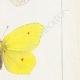 DETALLES 05 | Mariposas Europeas - Piéride Callidice - Coliade Citron - Piéride Daplidice