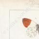 DETTAGLI 01 | Farfalle dall'Europa - Piéride