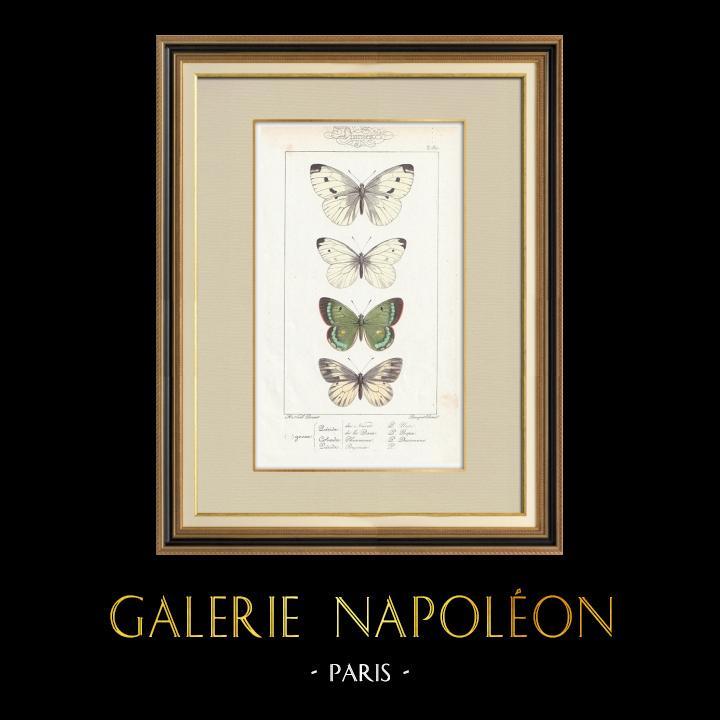 Stampe Antiche & Disegni | Farfalle dall'Europa - Pieride - Coliade - Piéride | Stampa calcografica | 1834