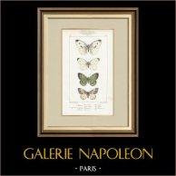 Motyle z Europy - Pieride - Coliade - Piéride
