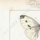 DETTAGLI 01 | Farfalle dall'Europa - Pieride - Coliade - Piéride