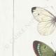 DETTAGLI 02 | Farfalle dall'Europa - Pieride - Coliade - Piéride