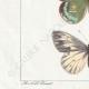 DETTAGLI 03 | Farfalle dall'Europa - Pieride - Coliade - Piéride