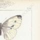 DETTAGLI 04 | Farfalle dall'Europa - Pieride - Coliade - Piéride