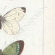 DETTAGLI 05 | Farfalle dall'Europa - Pieride - Coliade - Piéride