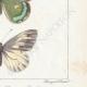 DETTAGLI 06 | Farfalle dall'Europa - Pieride - Coliade - Piéride