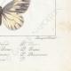DETTAGLI 08 | Farfalle dall'Europa - Pieride - Coliade - Piéride