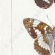DETAILS 02 | Butterflies of Europe - Petit Vulcain - Sylvain Azuré