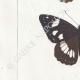 DETAILS 03 | Butterflies of Europe - Petit Vulcain - Sylvain Azuré