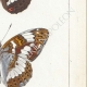 DETAILS 05 | Butterflies of Europe - Petit Vulcain - Sylvain Azuré