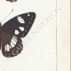 DETAILS 06 | Butterflies of Europe - Petit Vulcain - Sylvain Azuré
